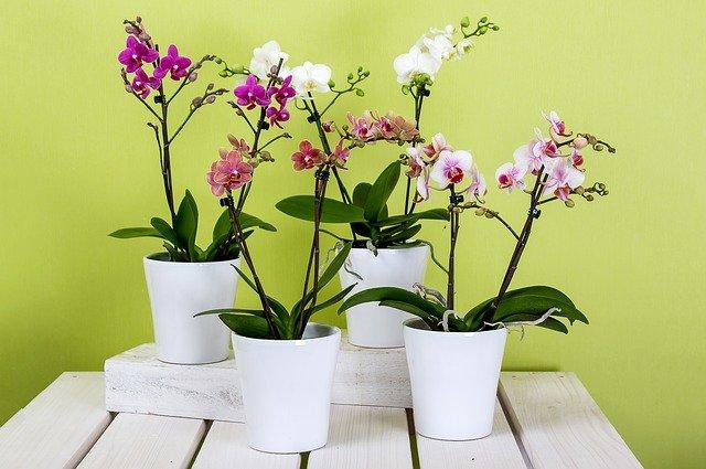 Na zdjęciu 4 storczyki, orchidee biała, różowa, plamiasta i fioletowa stoją na drewnianym stole w białych osłonkach, przedstawiają jedną z możliwych roślin kwitnących