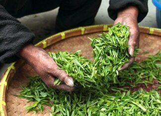 Herbata zielona to świeże, nie przefermentowane liście krzewu herbacianego. Zbierane ręcznie oraz przetwarzane w godzinę po zebraniu, dzięki czemu zawierają wszystkie właściwości. Na zdjęciu kobieta przerzuca liście zielonej herbaty w czasie suszenia.