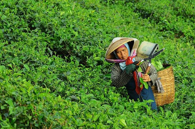 Herbatę zieloną zbiera się ręcznie, tak by nie uszkodzić liści ani krzewów herbacianych. Na zdjęciu kobieta z koszem na plecach wrzuca do niego zebrane za pomocą sekatora liście.